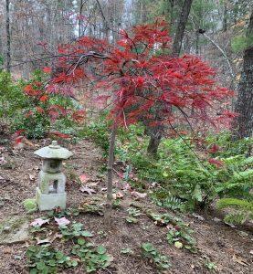Inaba-shidare Japanese maple