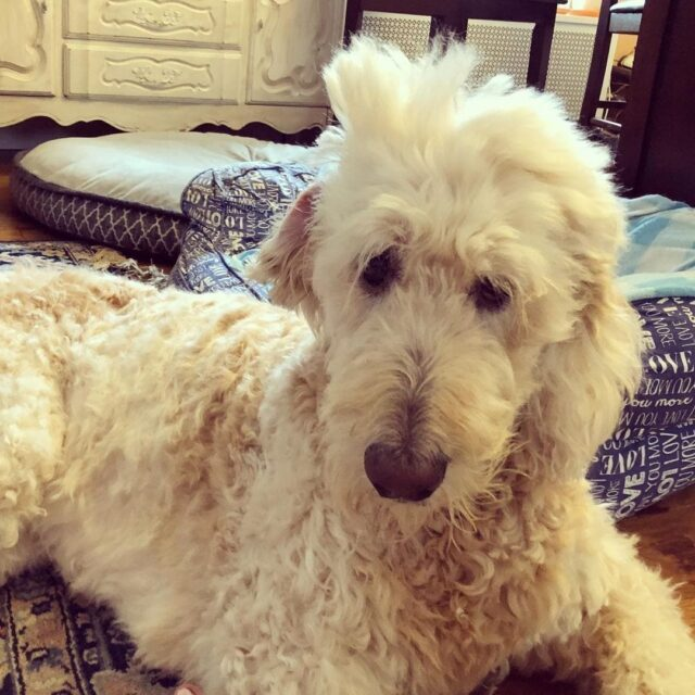 sleepy-dogs-and-cats-caught-with-adorable-bedhead