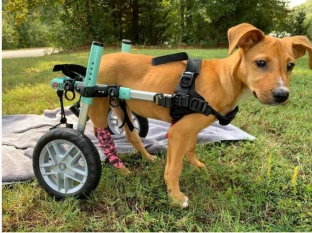 paralyzed-dog-is-searching-for-a-family-to-ski-with-and-love-forever