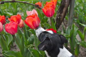 Dog sniffing tulip flowers