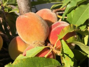 Tips to easily grow your own fresh delicious peaches and nectarines