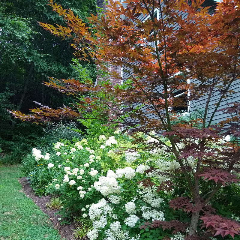 how-to-prune-a-japanese-maple