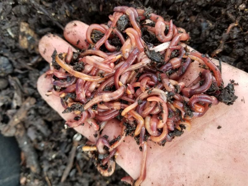 vermiculture-using-worms-to-aid-in-decomposition-is-part-of-answer