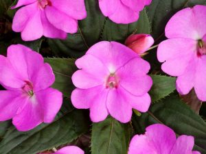 After several difficult years, impatiens are back to their former glory