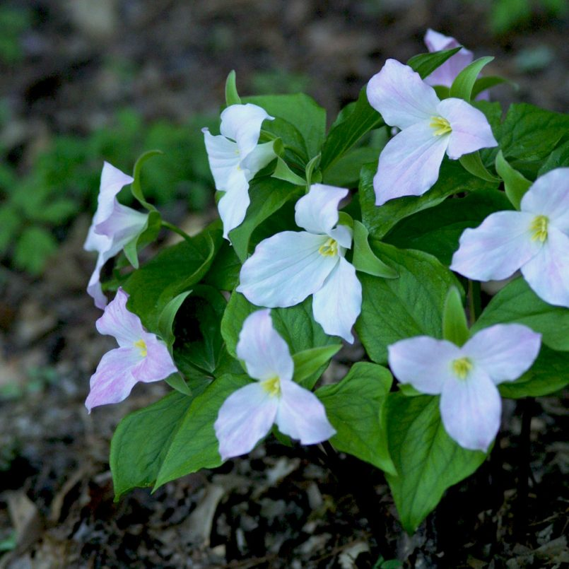 native-shade-loving-spring-ephemerals-for-the-south